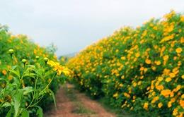 Các điểm ngắm hoa dã quỳ hút khách