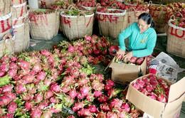 600.000 tấn thanh long đã được xuất khẩu sang Trung Quốc