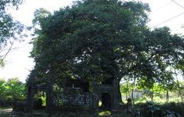 TT-Huế: Khai thác tiềm năng du lịch từ cây di sản