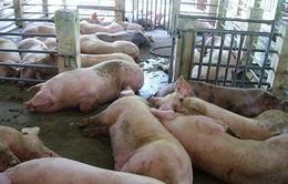 Vĩnh Long: Phát hiện 3 vụ bơm nước vào lợn ở huyện Bình Tân