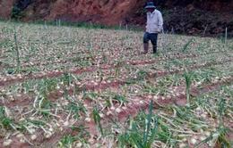 Lâm Đồng: Mưa đá gây thiệt hại nặng cho nông dân