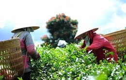 Lâm Đồng: Nhiều hộ trồng chè ô long nhổ bỏ cây