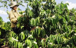 Nông dân gặp khó vì cà phê ra hoa sớm