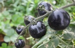 Cà chua đen đắt gấp 10 lần khi bán ở Sài Gòn