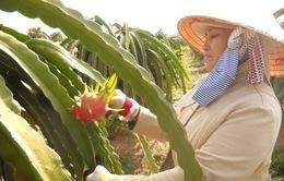 Bình Thuận: Thanh long trái vụ giảm giá mạnh