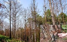 """Lâm Đồng: Hàng trăm cây thông tiếp tục bị """"đầu độc"""""""