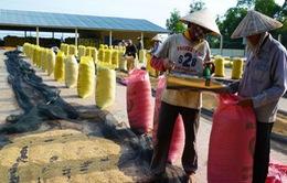 1 tháng mua tạm trữ vụ Đông Xuân: Giá lúa không cao