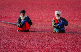 Cánh đồng nhuộm đỏ màu việt quất trong ngày mùa thu hoạch