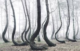 Kỳ lạ khu rừng uốn cong tại Ba Lan