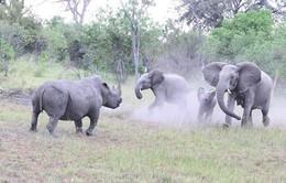 Tê giác trắng và voi tranh chấp lãnh thổ ở Nam Phi