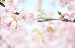 Đắm mình trong vẻ đẹp diệu kỳ của hoa anh đào qua Instagram