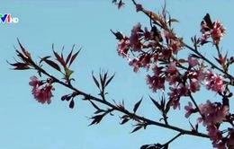 Đà Lạt rực rỡ mùa Mai Anh Đào