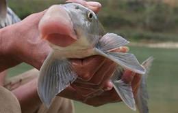 5 loài cá tiến Vua dành cho thực khách sành ăn