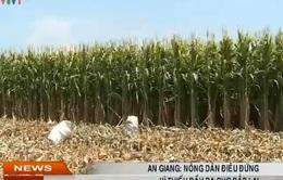 An Giang: Nông dân điêu đứng vì thiếu đầu ra cho bắp lai