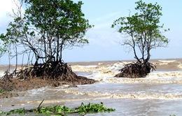 Báo động tình trạng tàn phá rừng phòng hộ ven biển