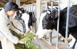 Chưa có phương án tiêu thụ sữa cho người chăn nuôi