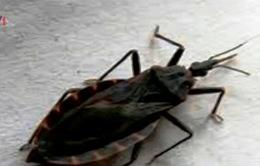 Ninh Thuận khuyến cáo phòng chống bọ xít hút máu