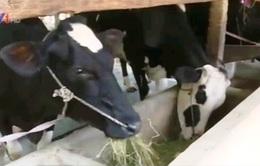 Không có nơi tiêu thụ, nông dân cho bò uống sữa