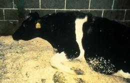 Canada ghi nhận trường hợp đầu tiên mắc bệnh bò điên từ năm 2011