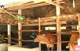 Nông dân Bình Định nâng cao thu nhập từ bò lai