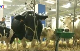 Bí quyết tạo ra giống bò siêu nạc của Vương quốc Bỉ