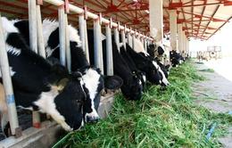 Bị cắt, giảm hợp đồng mua sữa, nông dân TP.HCM ồ ạt bán bò