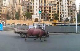 Con bò 400kg gây hỗn loạn tại Trung Quốc, làm 4 người bị thương