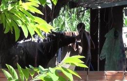 Tây Ninh: Bắt quả tangthương lái bơm nước vào trâu bò