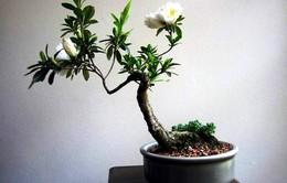 Bonsai - Loại cây cảnh đẹp để trang trí không gian