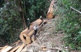 Nghệ An: Xót xa 3 cây gỗ sa mu hàng trăm năm tuổi bị đốn hạ