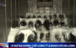 Cá ngừ đại dương: Chất lượng tỷ lệ nghịch với sản lượng