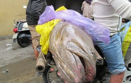 Ngư dân Đà Nẵng bắt được cá mú nặng 70 kg