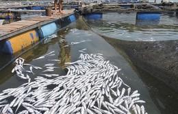 Các DN chưa chấp nhận bồi thường vụ cá chết trên sông Chà Và