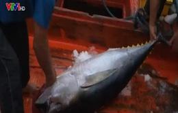 Đổi mới công nghệ tàu cá và đánh bắt cá ngừ đại dương