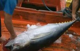 Bình Định: Hỗ trợ 50.000 đồng/kg cá ngừ xuất nguyên con sang Nhật