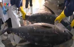 Xuất khẩu cá ngừ lần 2 sang Nhật Bản