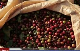 Giá cà phê thế giới xuống mức thấp nhất