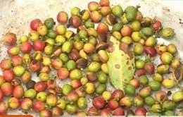 Cà phê Quảng Trị gặp khó khăn do giá xuống thấp