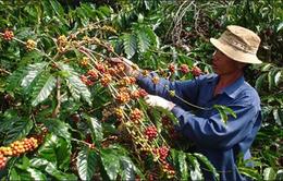 Giá cà phê Tây Nguyên tăng 500.000 đồng/tấn