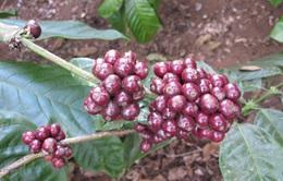 Kon Tum tăng cường khuyến cáo nông dân không hái cà phê xanh
