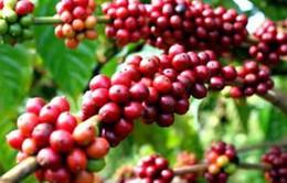 Cà phê Việt Nam xuất khẩu đến hơn 60 nước