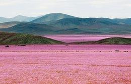 Cả rừng hoa bỗng mọc lên ở sa mạc khô hạn nhất thế giới
