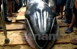 """Cải táng cá """"Ông Nam Hải"""" lớn nhất dạt vào bờ biển Phú Yên"""