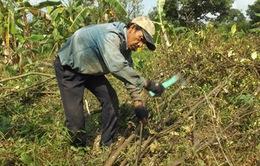 Hậu Giang: Nhiều nơi đốn sạch cam sành do dịch vàng lá gân xanh