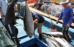Tăng cường liên kết sản xuất cá ngừ theo chuỗi