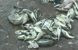 """Thừa Thiên - Huế: Cá """"tử thần"""" được bày bán công khai"""