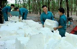 Bình Thuận: Giá mủ cao su xuống thấp kỷ lục