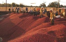 Cà phê chế biến xuất khẩu có thể tăng 25% năm 2015