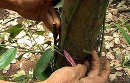 Đồng Nai: Hàng trăm gốc tiêu bị cắt trụi