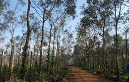 Sơn La: Hàng trăm ha cây cao su bị chặt hạ